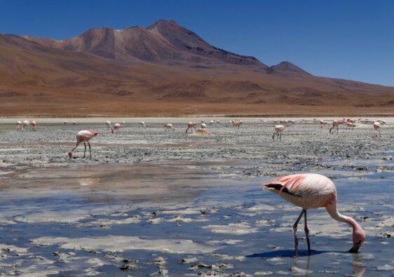 Flamants roses et lagunes du Sud Lipez en Bolivie