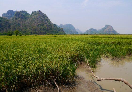 Rizière autour de la ville de Hpa An dans le sud du Myanmar