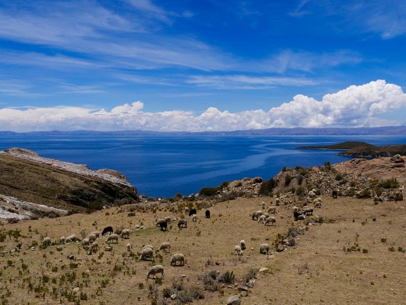 Moutons à Isla del Sol en Bolivie
