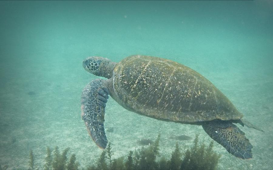 Tortue plage de Malendure Basse terre