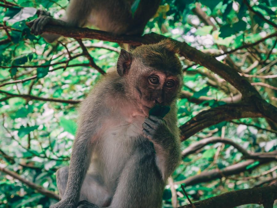 Un singe de la Monkey forest de Bali en indonésie